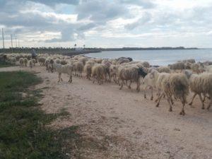 Schafherde auf dem Weg zur nächsten Weidefläche
