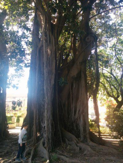 Mit 200 Jahren ältester Ficus magnolioides