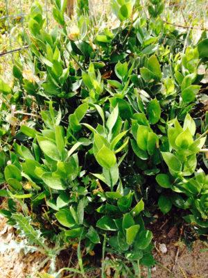 Spargelpflanze