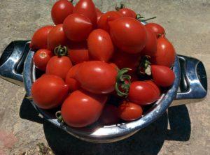 Tomaten der Sorte Pizzitelli