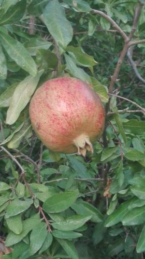 Ein Granatapfel ganz aus der Nähe