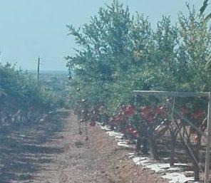Granatapfelplantagen bei Petrosino