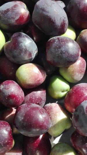 Oliven in verschiedenen Reifegraden