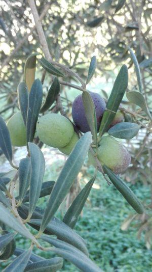 Oliven kurz vor der Ernte