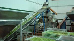Die Oliven werden über das Förderband zum waschen befördert