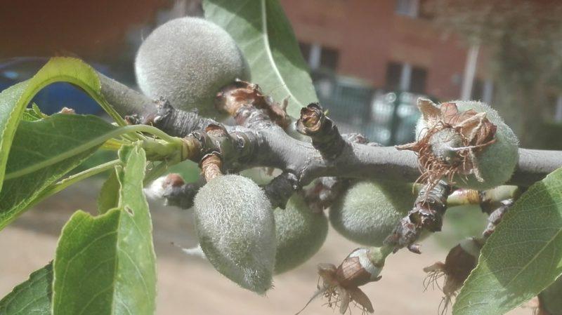 So wachsen die Mandeln am Baum
