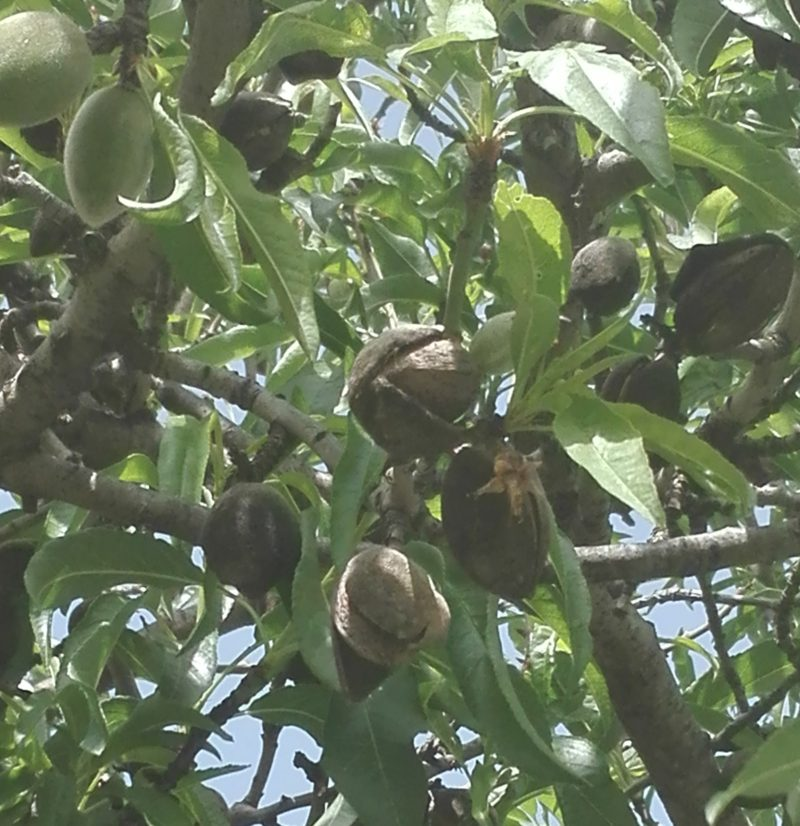 und so sehen die reifen Mandeln am Baum aus