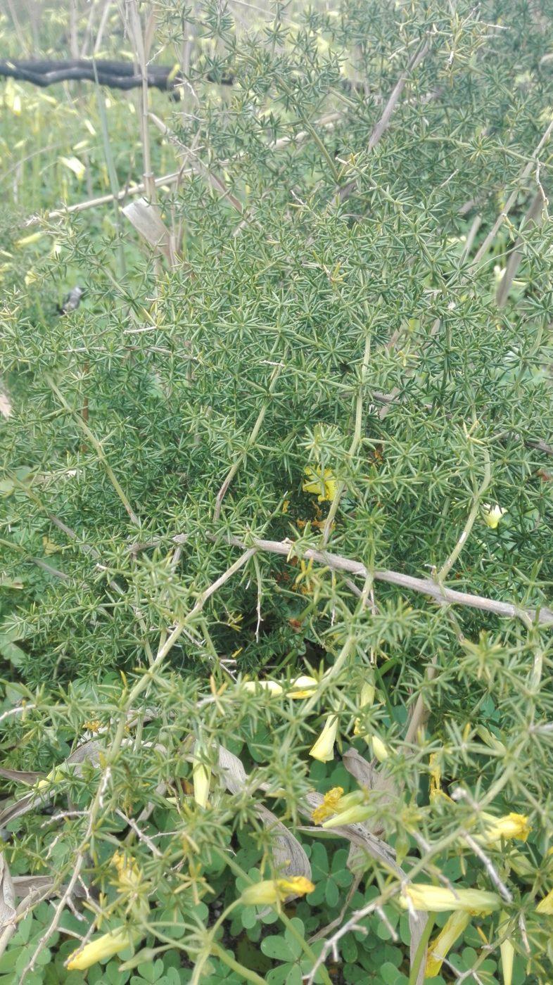 Wilde Spargelpflanze