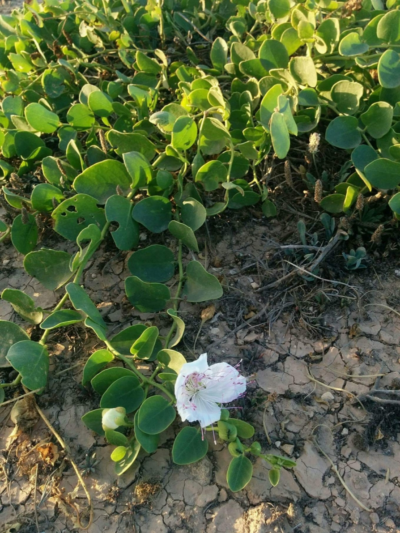 Kapernstrauch aus der Nähe mit Blüte und Kapern