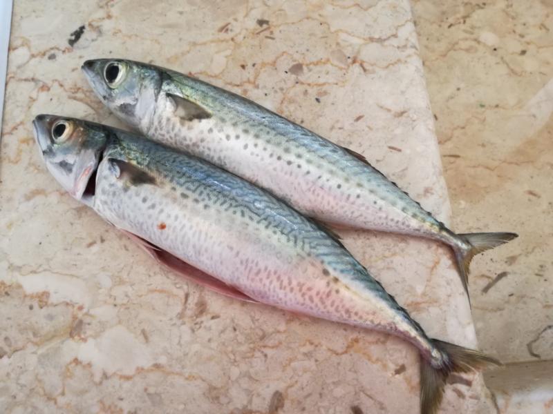 Frische Makrelen