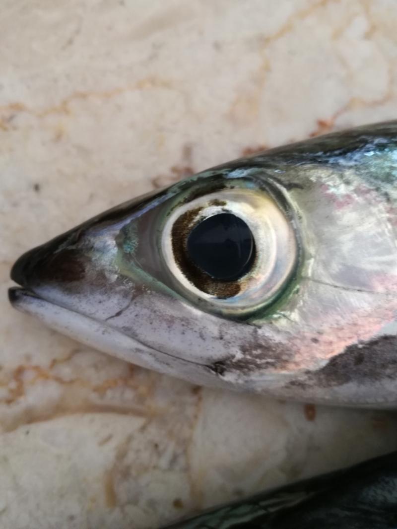 Einen frischen Fisch erkennt man an seinen klaren Augen